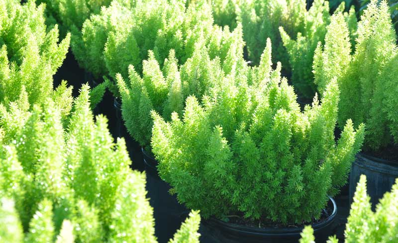rows of 2 gallon plants used as background image primarily green